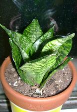 Sansevieria Trifasciata Prain 5 Inches