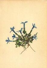 ALPINE FLOWERS: Gentiana imbricata Fröl-Dachziegelblättriger Enzian;1897