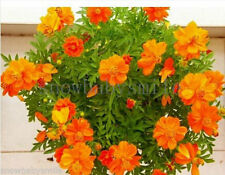 200 Cosmos Sulphureus Seeds Mexican Aster Sulphur Orange Yellow Flowers Fresh