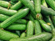 Tanja Salatgurke beliebte Sorte für Freiland oder Gewächshaus bitterfrei