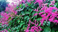 1000 fresh  SEEDS*ANTIGONON LEPTOPUS*CHAIN OF LOVE*CORAL VINE****free shipping**