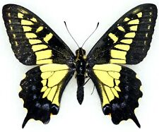 Insect Butterfly Moth Papilionidae Papilio zelicaon mcdunnoughi-Rare Form!