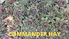 10 Commander Hay Sempervivum Hens and Chicks - Hardy- Live Plants