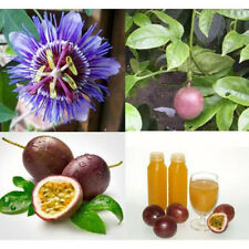 10X Tropical Exotic Passion Fruit Seeds Purple Passiflora Edulis Germination