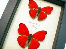 Real Framed Cymothoe Sangaris & Cymothoe Excelsa Butterflies 8186