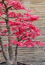 Dreispitz Ahorn Acer buergeranum 10 Samen