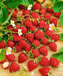 Seeds Alpine Strawberry Red Baron Solemaher Everbearing Climbing Organic Ukraine