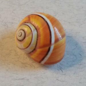 Polymita picta, 23mm, one of my favorite patterns in orange