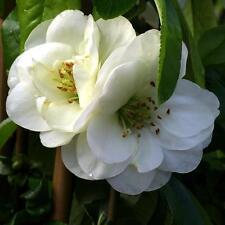 Chaenomeles Speciosa Yukigoten Flowering Quince Shrub 3 litre pot