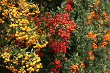 Feuerdorn Bunte Hecke immergrün 8lfd. Meter - 24 Pflanzen 60 - 80 cm im Co.