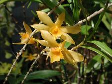 Orchid plant Den hancockii bloom size