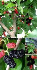 schwarzer Maulbeer Bäume Samen Beerensträucher Pflanzen für den Blumentopf Obst