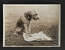 Famous Airedale Terrier Laddie Boy In Mourning