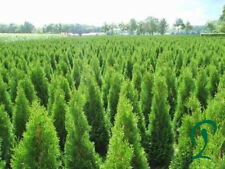 Thuja Smaragd 60-80 cm Höhe inkl. Versand 31 x Lebensbäume 255,- €.