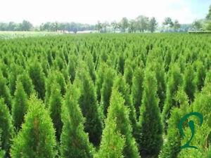 Lebensbaum Thuja Smaragd 55 x Lebensbäume 80 bis 100 cm inkl Versand 492,50 Euro