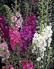 Verbascum (Verbascum Phoenicium Hybrids Mix) - Mixed Colors- 100 Seeds