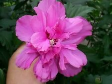 50 DARK PINK DOUBLE ROSE OF SHARON HIBISCUS Syriacus Flower Tree Bush Seeds
