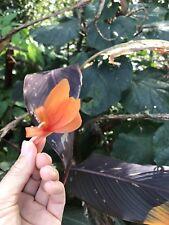 8 CANNA LILY BULBS/RHIZOMES, ORANGE FLOWERS TALL DARK FOLIAGE