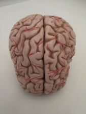 Smso Anatomical Brain