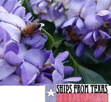 TEXAS MOUNTAIN LAUREL, CALIA (SOPHORA) SECUNDIFLORA, FRAGRANT TREE, 10 SEEDS