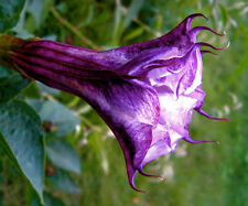 angel's trumpet purple, Datura Metel, 10 Seeds! GroCo