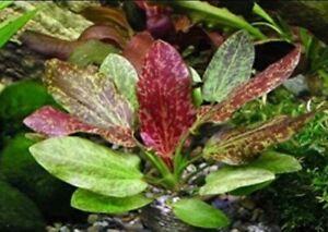 *BUY 2 GET 1 FREE* Red Flame Sword Echinodorus horemanii Live Aquarium Plants ✅