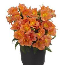 Colorita® Ivana Stauden Pflanze Alstroemeria hybrid Inkalilie