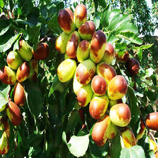 Ziziphus Jujube Chinese Date 20 Seeds Sweet Big Size Fruit Real Seeds Package