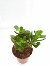 "Crassula Ovuta Jade Live Plant Easy to Grow 2.5"" Pot Garden Indoor Outdoor"