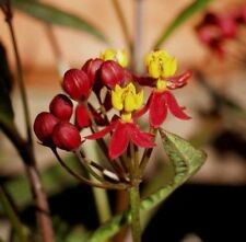Asclepias curassavica'Silky Deep red'-Swamp milkweed-10 fresh seeds