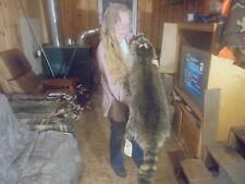 """47""""#27 Adirondack Mt.Fancy Wide X-Dark Raccoon Pelt /Taxidermy/Fur/Coyote/Fox"""