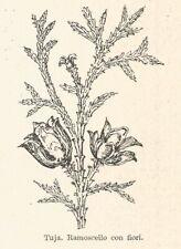 B3205 Tuja - Ramoscello con fiori - 1931 xilografia - Old engraving - Gravure