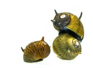 3 x Horned Nerite snails Mixed, Fresh Water Snail