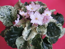 Willowdene African Violet Starter Plant - See Winter Shipping Below