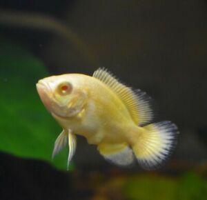 Live Lemon Oscar Cichlid (Rare Juvenile Aquarium Fish) *PLS READ DESCR*