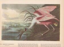 """1942 Vintage AUDUBON BIRDS #64 /""""SWAMP SPARROW/"""" Color Art Plate Lithograph"""