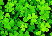 500 Graines de Trèfle Irlandais / à Trois Feuilles / Shamrock Trifolium Dubium