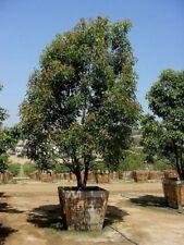 Cinnamonium camphora - Unusual Camphor Tree - 10 Fresh Seeds