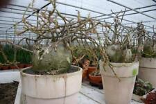 Caudex Pachypodium Succulentum
