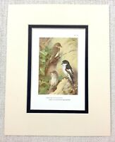 Vintage Uccello Stampa Thorburn's a Pois Flycatcher Pied C.1929