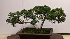 Japanese Shinpaku Bonsai Estimated 8 Years Old