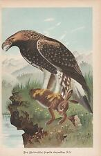 Steinadler Aquila chrysaetos Chromo-Lithographie von 1896 Golden eagle
