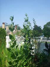 4 COMMON TEASEL PLANTS -  Dipsacus sylvestris -  to 10 foot tall flower stalks