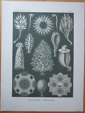 HAECKEL: Coral 1st. Edition - 1900