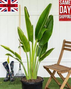 Travellers Palm Tree (Ravenala Madagascariensis) Rare 10 seeds Same Day Dispatch