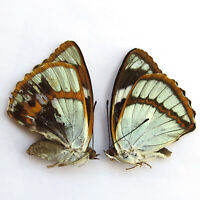 COLLECTION special unmounted butterfly PAIR mimathyma schrenckii #3