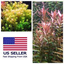 Buy 2 Get 1 Free Rotala Rotundifolia Live Aquarium Plant Aquatic Plant ✅