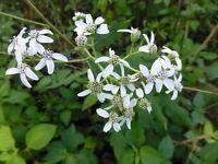 Frostweed (Verbesina virginica) ✤ 30 Seeds