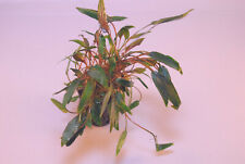 CRYPTOCORYNE MIOYA 1 POT -Freshwater Aquatic Live Plants SUPER PRICE !!!!!