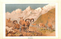Genuine.Antique.1894.Sheep.Bharal.Chromolithograph.Natural history.Animal.Art
